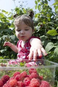 bébé mange des framboises pour manger des fruits au petit-déjeuner